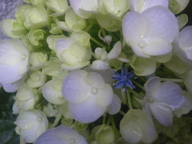 a série flores: hortência - clique para ampliar - foto: arauto do futuro